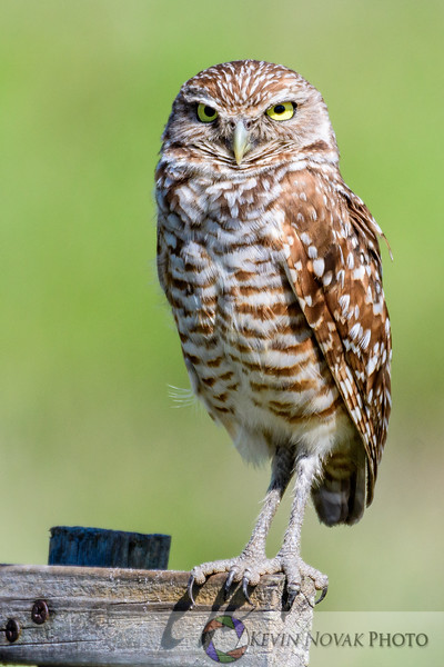 Burrowing Owl on its perch, Cape Coral, FL.
