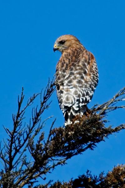 Hawk - Red-shouldered - Carpenteria Beach, CA