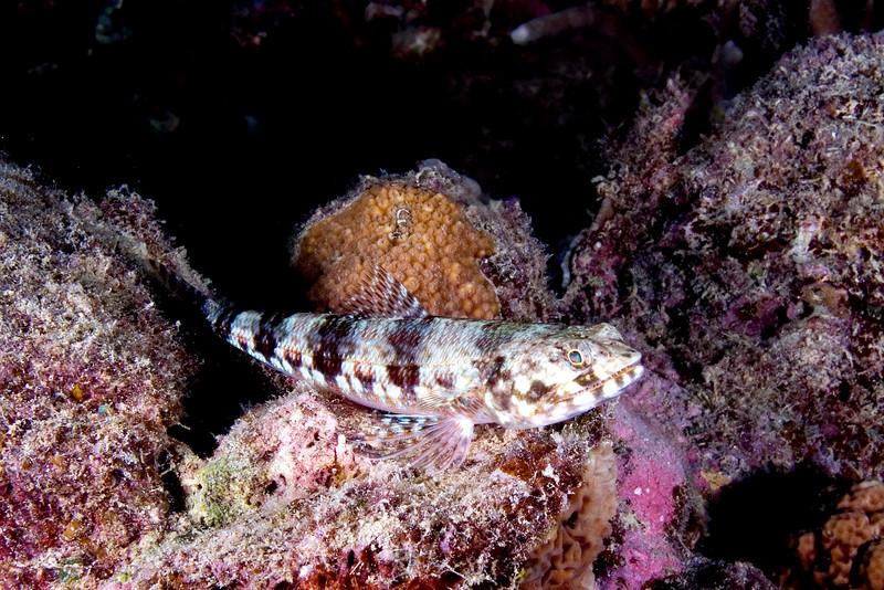 Lizard Fish.jpg