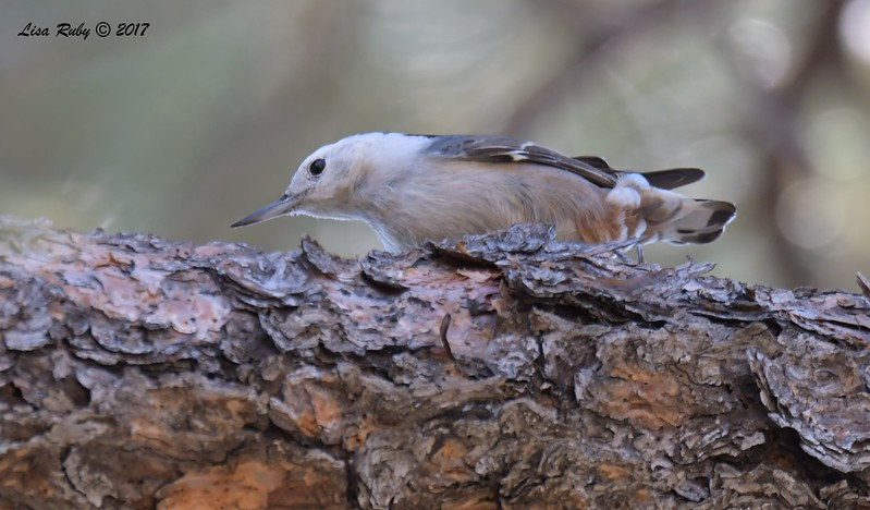 White-breasted Nuthatch - 10/19/2017 - Wickwood Lane, Prescott, AZ