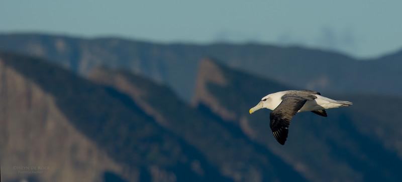 Shy Albatross, Eaglehawk Neck Pelagic, TAS, May 2016-8.jpg