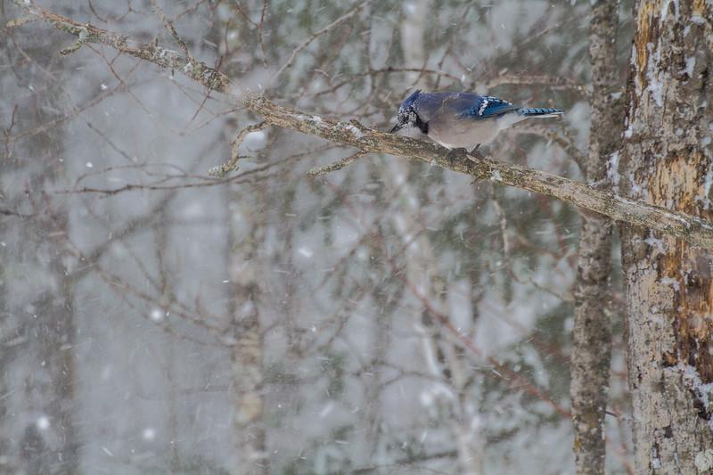 Blue Jay in snowfall Skogstjarna Carlton County MNIMG_1675.jpg