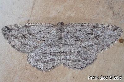 Long-fringed Bark Moth