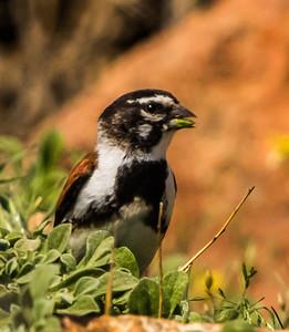Black-headed Canary