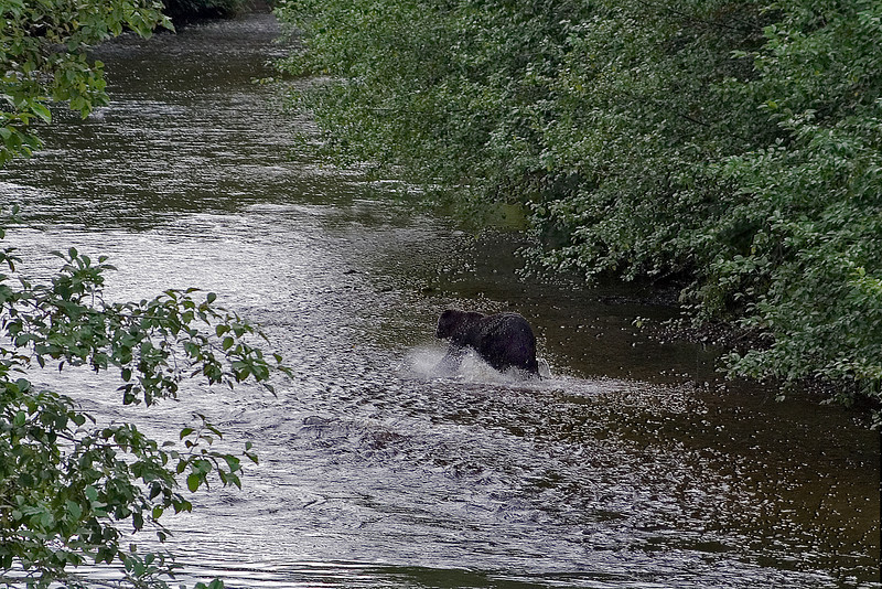 Bear in the River 1.jpg