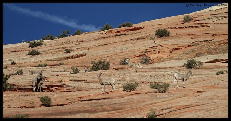 Big Horn Sheep habitat, Zion National Park, Utah, May 2010