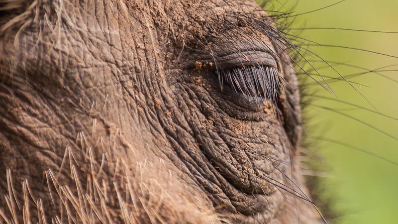 Vortesvin, Mabula Game Reserve, Limpopo, Sydafrika