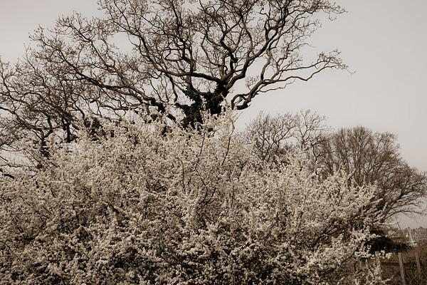 Warsash Blossom