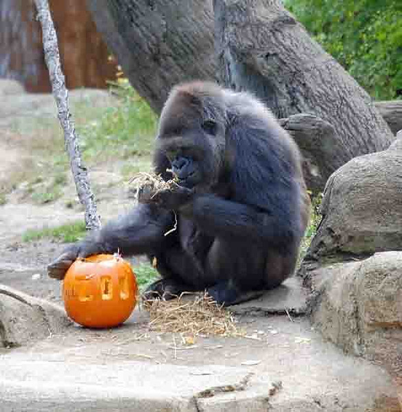 This gorilla got a nice treat near Halloween.