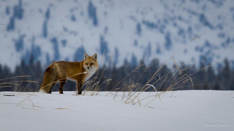 20160106-fox-001.JPG