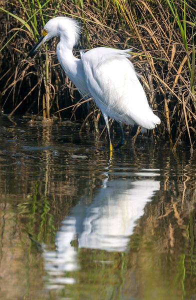 Snowy Egret wading