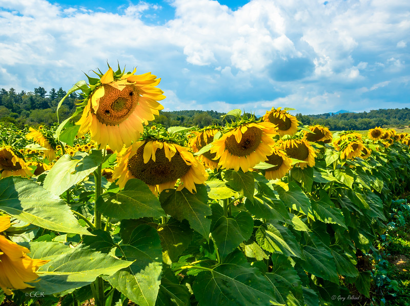 lighter smiling sunflower 2021  b (1 of 1).jpg