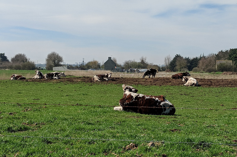 Normandy cheese cows