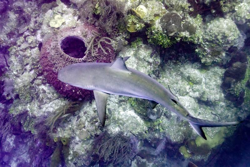 Grey Reef Shark (Carcharhinus amblyrhynchos) near coral reef underwater, Tarpon Cayes, Belize Barrier Reef, Lighthouse Reef, Belize