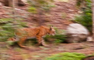 charismatic mountain macro fauna (lions, moose, etc)