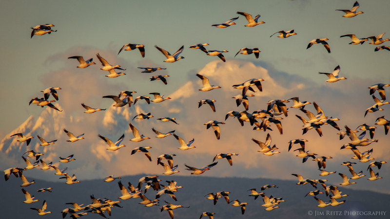 Mount Baker with Snow Geese