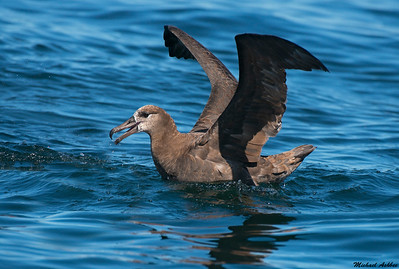 Black-footed Albatross (Rare Vagrant)