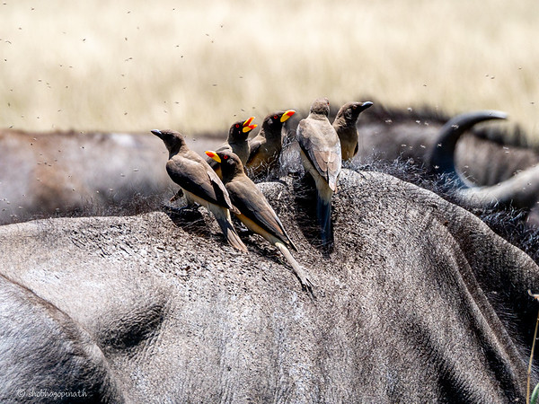 Red-beaked Oxpeckers