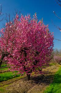 Saturn Peach - Prunus persica sp.
