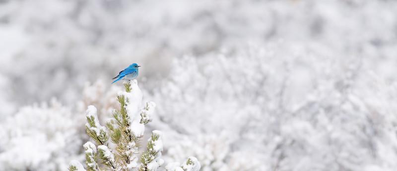 Mountain Bluebird in snow Yellowstone National Park WY DSC04865.jpg
