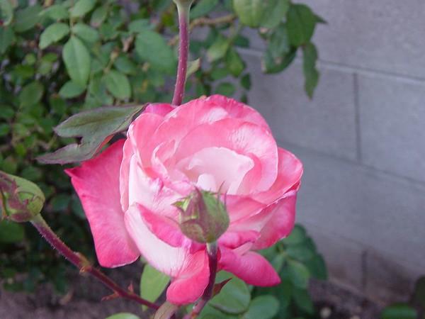 2004 Roses