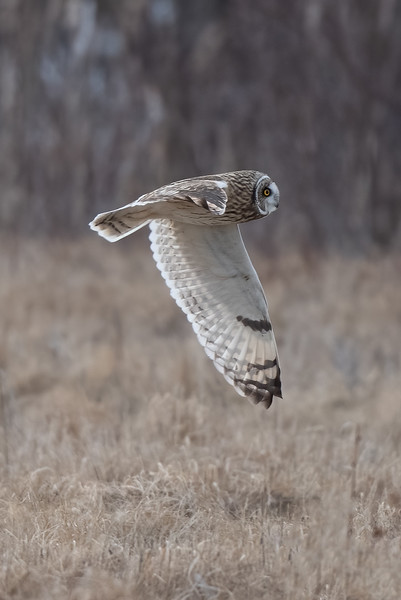 #1567 Short-eared Owl