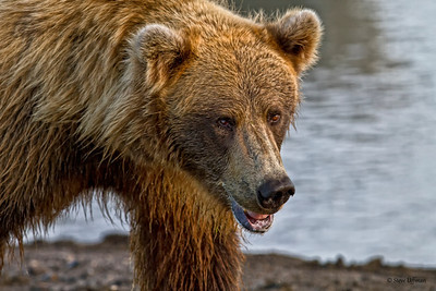 Alaskan Coastal Brown Bears-Lake Clark