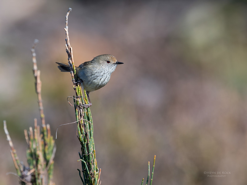 Brown Thornbill, Bruny Island, TAS, Sept 2016-2.jpg