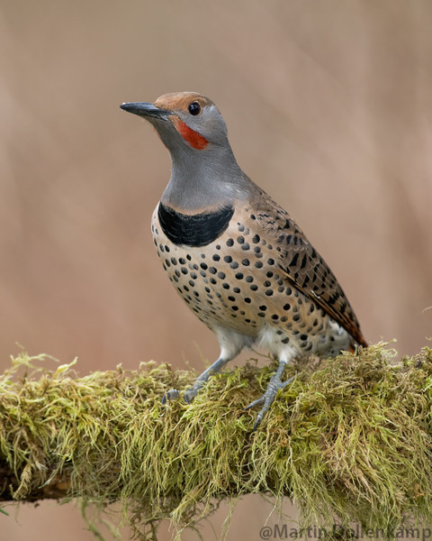 Flicker males have the red mustaches.