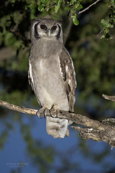 Verreaux's Eagle Owl, Khwai River Concession, Botswana, May 2017-1.jpg