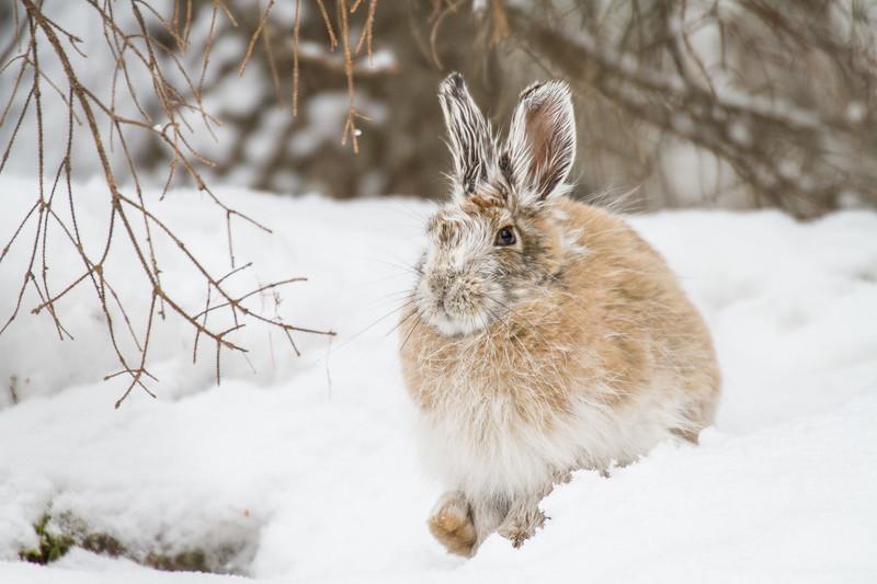 Snowshoe Hare Warren Nelson Memorial Bog Sax-Zim Bog MNIMG_0811.jpg
