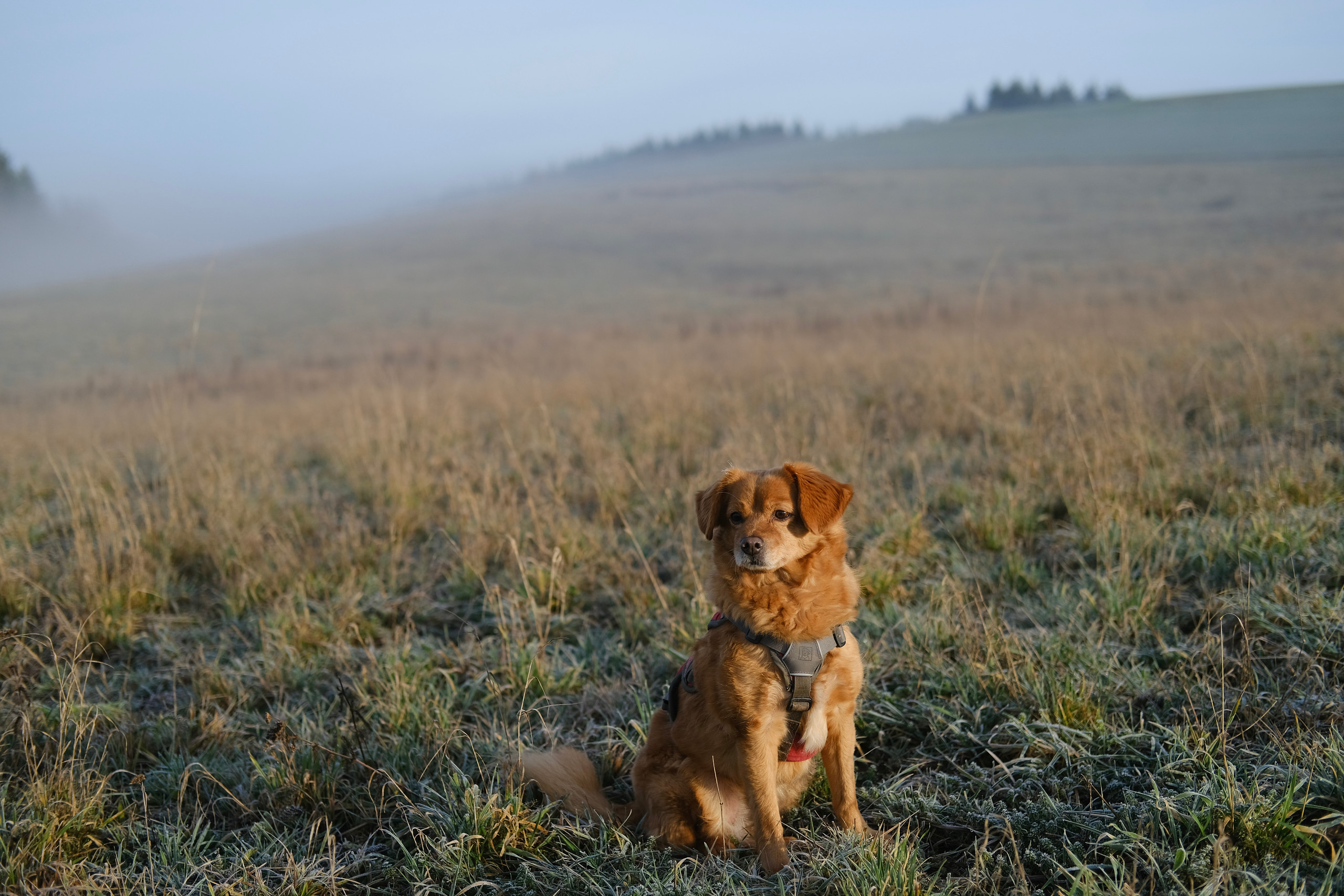 A full body portrait of a small red-haired dog sitting in a field surrounded by soft fog and lit by a weak sun