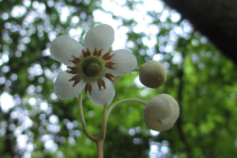 Spotted Pipsissewa (Chimaphila maculata)