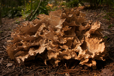 Hen-of-the -Woods July 29 2014