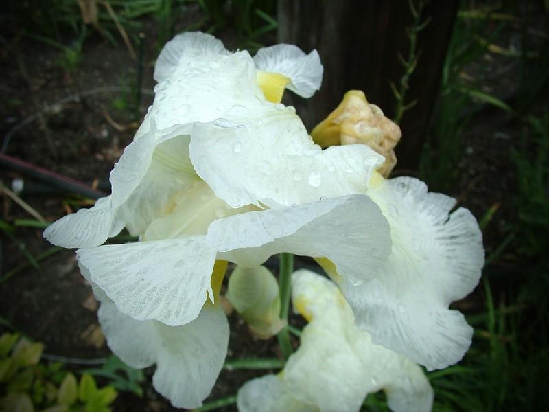 Flower White Iris 038.jpg