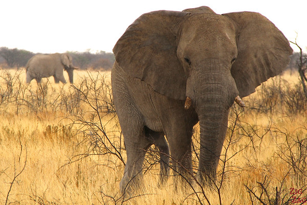 Best photo Namibia: elephant in Etosha National Park
