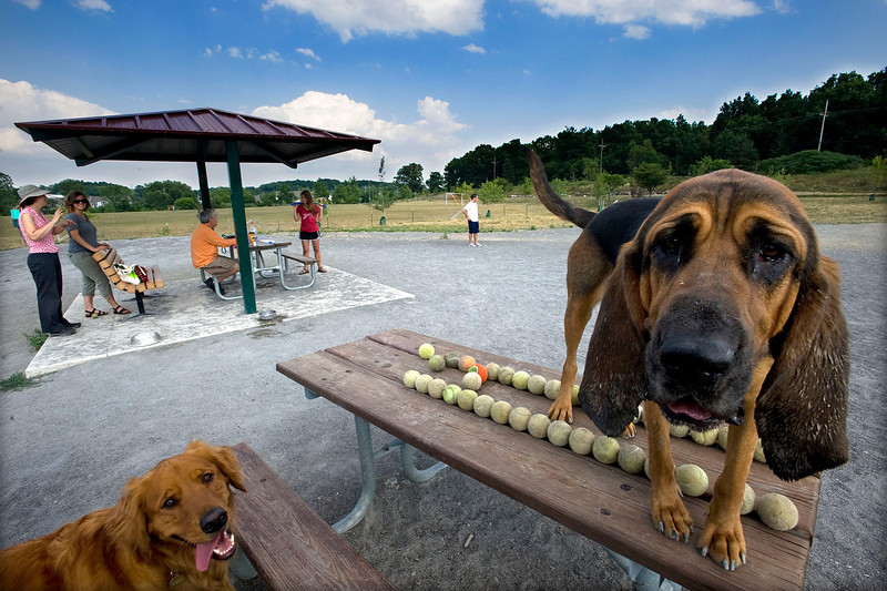 A Golden Retriever named Henry, left, and a bloodhound named Ellie,  have fun at Olson Dog Park in Ann Arbor, MI.