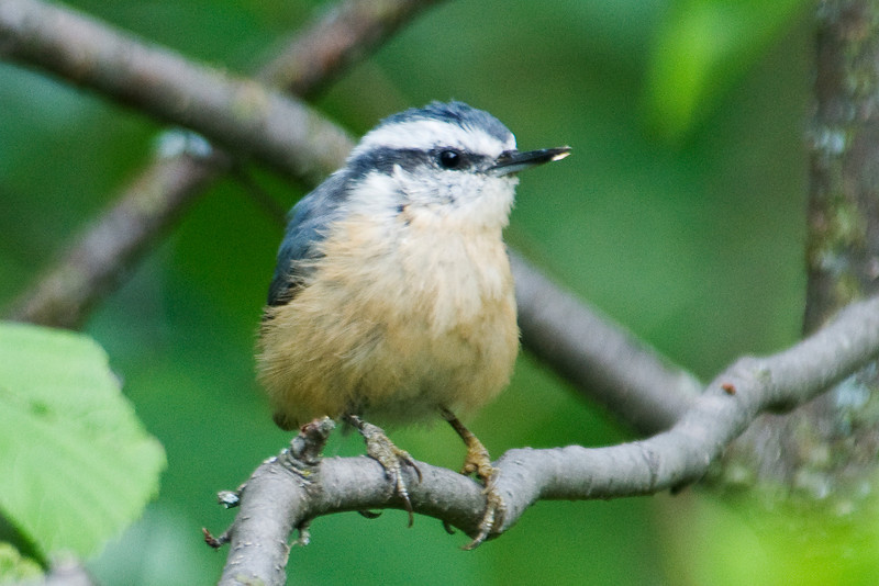 Nuthatch - Red-breasted - female - Cook County, MN