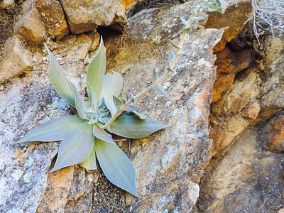 Arizona Chalk Dudleya (Dudleya arizonica)