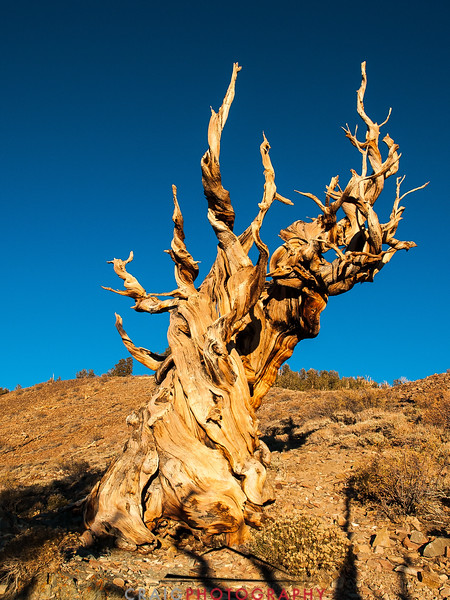 Bristlecone Pine forest California 3