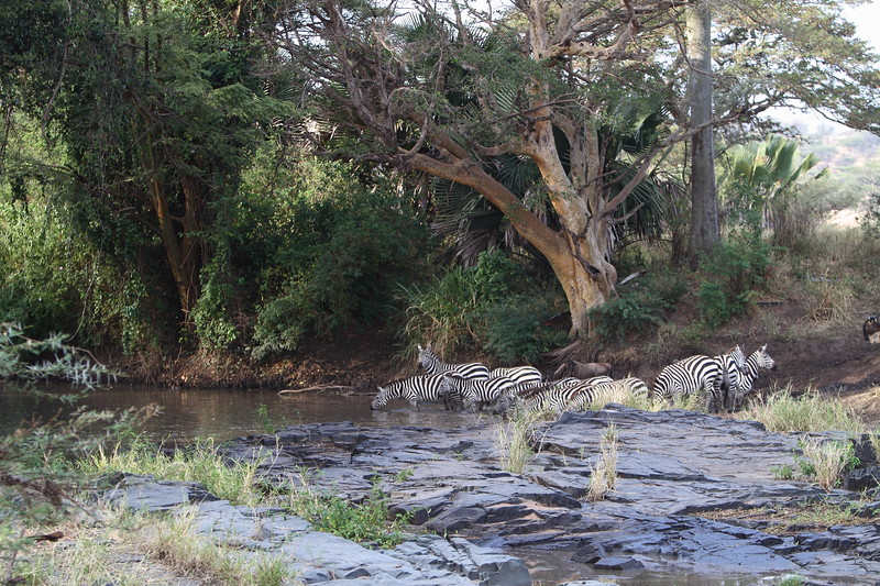 Zebras at Watering Hole.JPG
