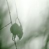 Hoarfrost on birch leaves
