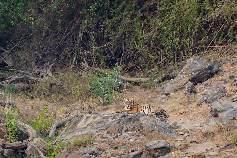 Tiger-Bhadra-2.jpg