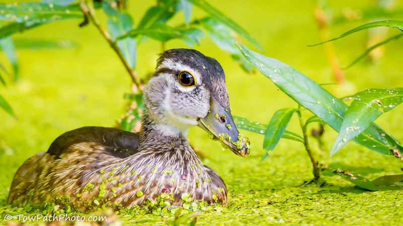Wood Duck (juv)