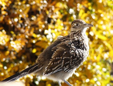 Critters, Roadrunners