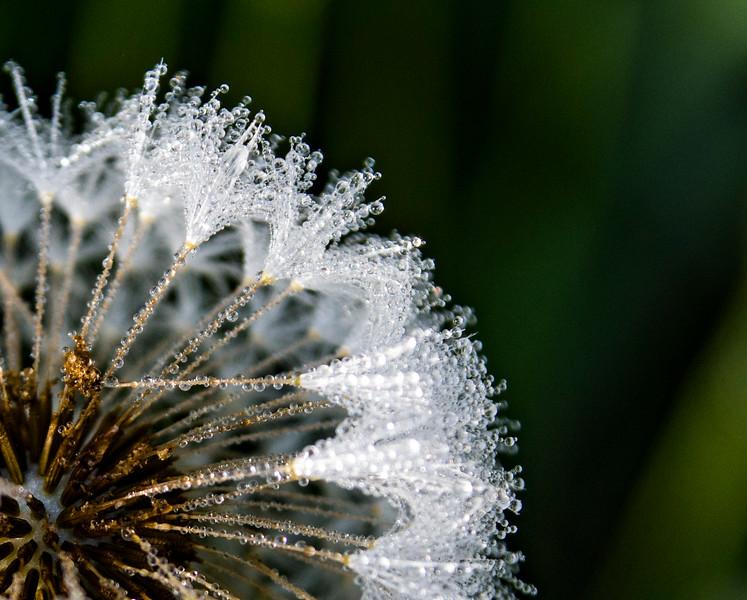 Taraxacum-officinale-dandelion-dew-drops.jpg