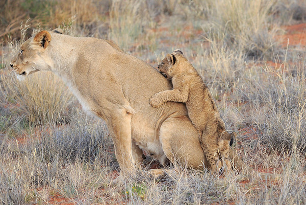 Mom Lion and her feisty Cub Tswalu South Africa 2016