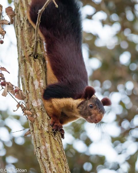 Malabar Giant Squirrel, Jungle Hut, Masanagudi, Mudumulai,  India (02-26-2015) 059-2.jpg