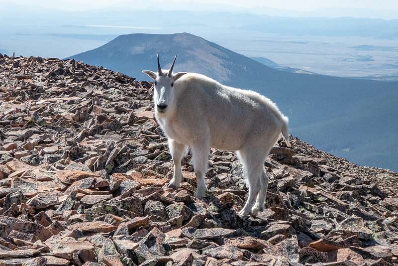 Mountain Goat Giving Us a Look!