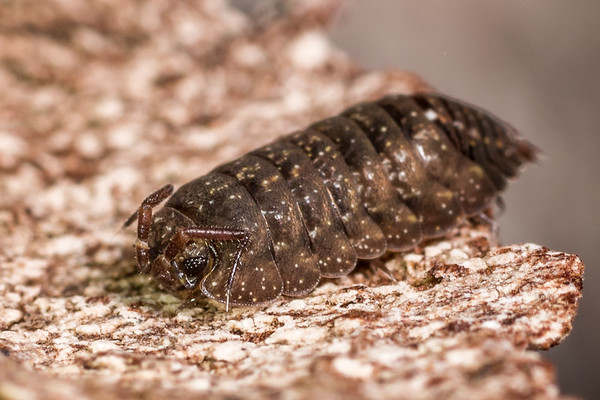 Family Armadillidae - Tropical pill woodlice